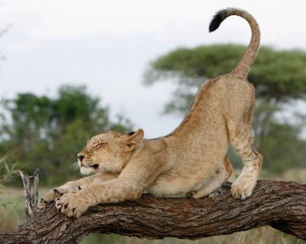 baby-lion-cute-lion-cubs-animal-instincts-young-male-lions-masai-mara-national-park-kenya-female-and-male-lion-south-africa-lion-park-beautiful-amazing-baby-lion-image-1